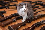 Cat walks through a gun collection in Kennar Louisiana,