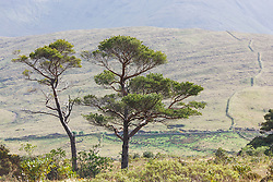 Zen-looking trees and stone walls in Sheeffrey Hills near Ashleigh Falls, County Mayo, Ireland