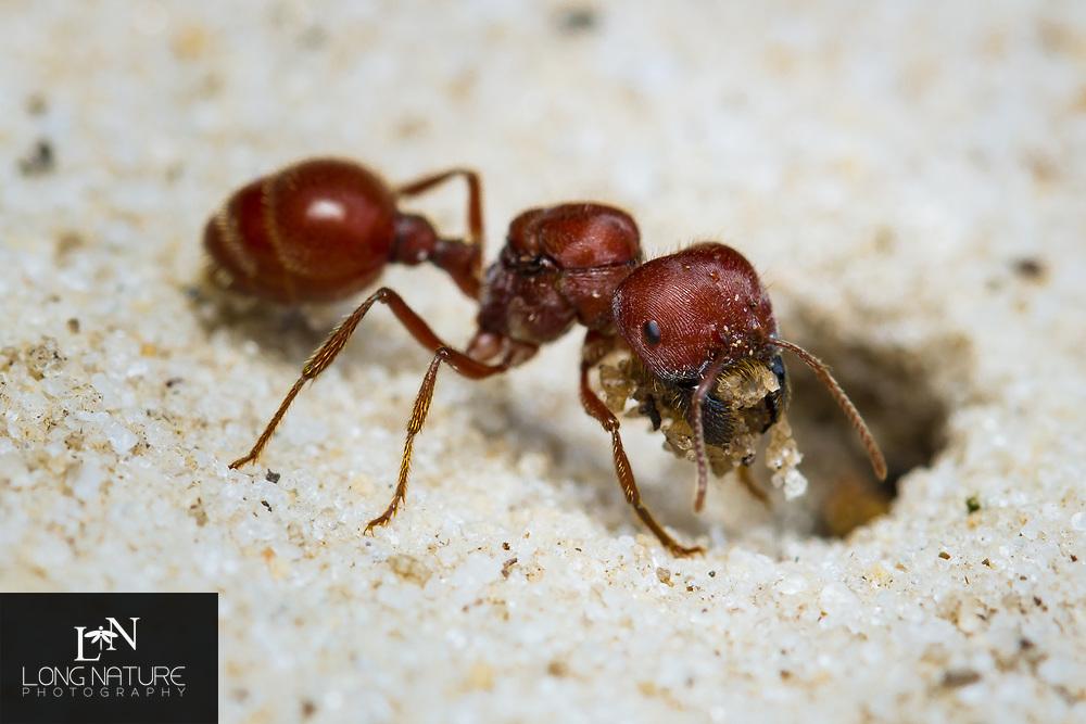 Florida harvester ant, Pogonomyrmex badius Queen digging her nest