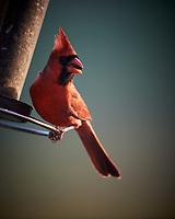 Male Northern Cardinal. Image taken with a Nikon D5 camera and 600 mm f/4 VR telephoto lens (ISO 1100, 600 mm, f/4, 1/640 sec).