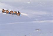 Bactrian pack camels (Camels bactrians)<br /> Darkhadyn Khotgor Depression<br /> Mongolia