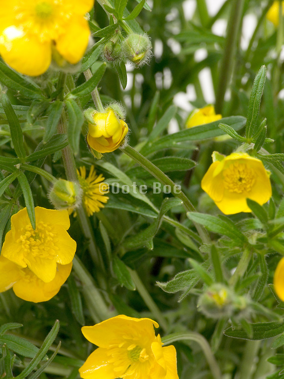 close up of a bouquet of buttercup flowers