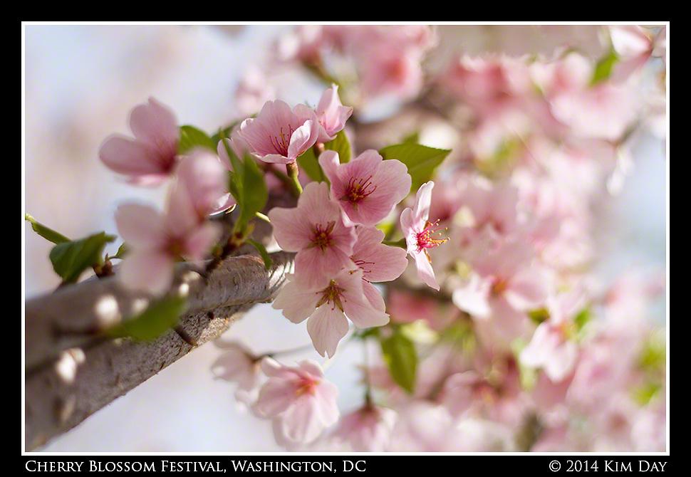 Ethreal Blossoms<br /> Cherry Blossom Festival - Washington DC<br /> April 13, 2014