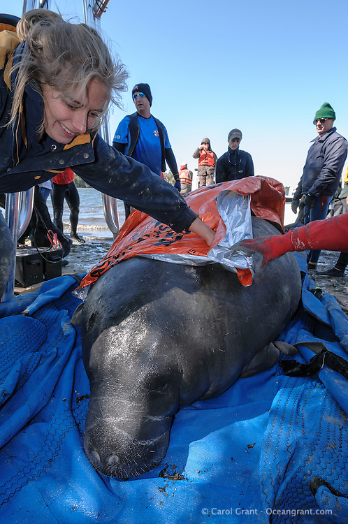 Manatee Health Assessments, Kings Bay, Crystal River, Citrus County, Florida USA. October 30, 2012 pm. Researchers from several federal and state agencies work together to gather data during the manatee capture and health assessments. A manatee is covered with a thermal blanket to keep its body temperature up on a cooler day. The manatee's wellbeing is foremost and it is only kept out of the water for a safe, pre-determined amount of time during data and sample acquisition.