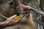 Sheep shearing season on 18th of June 2020, in Stow in the Scottish Borders, Scotland, United Kingdom. Sheep gets a shot of anti-worm medicine while waiting to be sheared. Stewart Runciman has got 800 sheep and sheep shearing season is on. He keeps his sheep and lambs in the fields above Stow in the Scottish Borders but takes them inside at Muir House farm to have their wool cut. Wool and fleece was never a good business but with COVID-19 the price on wool has dropped and Stewart now loses up to 80p / sheep  but the shearing has to be done for animal welfare reasons.