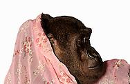 Deutschland, DEU, Krefeld, 2004: Projekt ueber die biologischen Wurzeln der Mode. Die Shootings hierfuer wurden mit Grossen Menschenaffen, die dem Menschen am naechsten sind, im Krefelder Zoo gemacht. Die Tiere waren weder zahm noch trainiert. Die Kleidungsstuecke wurden in die Gehege geworfen und was immer die Tiere damit anstellten, taten sie aus sich selbst heraus. Ein Eingreifen oder gar eine Regie war unmoeglich. Da das Verhalten der Affen im Mittelpunkt stand, wurden die Hintergruende von den Originalfotografien entfernt. Gorilla-Maennchen Jambo mit einem Tuch, gesehen bei Silkroad in Muenchen. | Germany, DEU, Krefeld, 2004: Project to look at the basics and roots of fashion. The shootings took place in the Zoo Krefeld with three species of Great Apes who are the nearest to us. The animals were neither tamed nor trained. Whatever the animals did, they did on their own. Any intervention or directing was impossible. To set the focus on the behaviour of the animals itself we removed the background from the original photographs. Gorilla (Gorilla gorilla) male Jambo with scarf seen at Silkroad in Munich. |