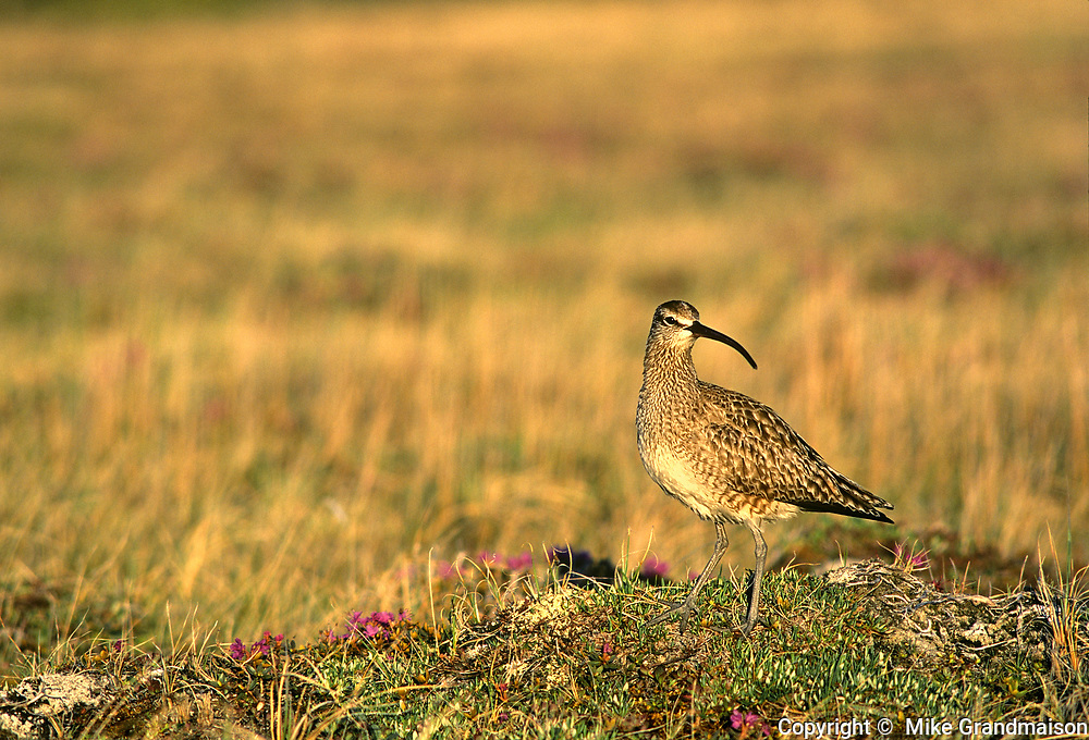 Whimbrel (Numenius phaeopus), the most widespread of the curlews, on the tundra<br />