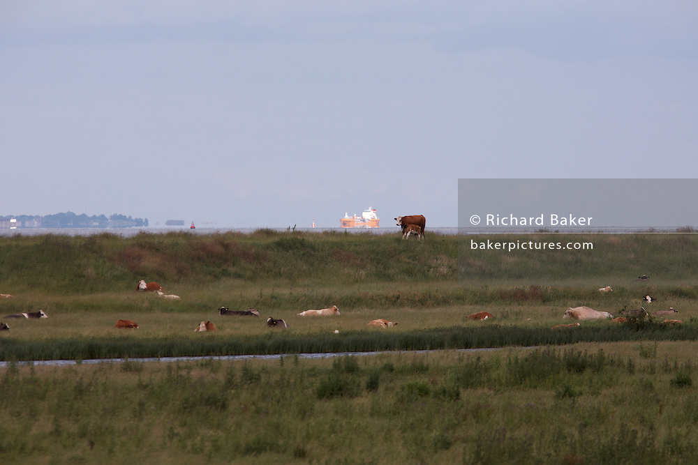In the Thames estuary, cargo shipping destined for Tilbury Docks approaches with closer grazing cows on sea defence levee