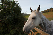 Gray horse in Kilburn on the edge of the North York Moors. Yorkshire, England, UK. This is a farming area where rural living and the countryside is at the centre of life in this county. The Kilburn White Horse, is a hill figure cut into the hillside. It is said to be the largest and most northerly hill figure in England.