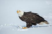 Bald Eagle on snowy ground in Alaska