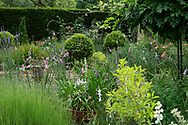 Dierama pulcherrimum (Angel's Fishing Rod) growing on the Terrace Garden at Cothay Manor, Greenham, Wellington, Somerset, UK
