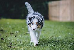 THEMENBILD - ein Welpe (Australian Shepherd) läuft auf einer Wiese, aufgenommen am 18. Oktober 2020 in Kaprun. Oesterreich // a puppy (Australian Shepherd) runs on a meadow,, in Kaprun, Austria on 2020/10/18. EXPA Pictures © 2020, PhotoCredit: EXPA/Stefanie Oberhauser