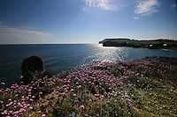 Pink thrift in bloom on the cliffs at freshwater bay, isle of wight