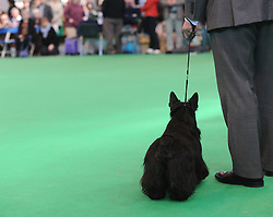 © Licensed to London News Pictures. 11/03/2012. Scottish terrier Maisie enters the ring as competitors take part in the Terrier and Hound day of the 2012 Crufts final at the Birmingham NEC Arena.  With over 28,000 dogs taking part the tension is high as the competition draws towards the prestigious title of  Best in Show. Photo credit: Alison Baskerville/LNP