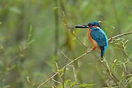 Kingfisher, Alcedo atthis, Danube delta rewilding area, Romania