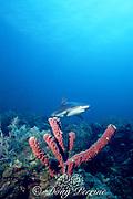 Caribbean reef shark, Carcharhinus perezi, New Providence Island, Bahamas ( Western Atlantic Ocean )