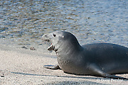 Hawaiian monk seal, Monachus schauinslandi( Critically Endangered ), 2.5 year old male spits out an ambon toby or pufferfish, Canthigaster amboiensis, after rolling it in the sand, possibly to remove noxious mucus; the fish was caught in the ocean, then brought to shore to cleanse it before consumption; Pu'uhonua o Honaunau ( City of Refuge ) National Historical Park, Kona, Hawaii