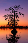 Single Cypress tree and calm river with sunset colors in sky and reflection
