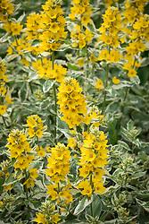 Lysimachia punctata 'Alexander' - Yellow loosestrife