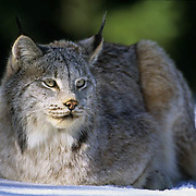 Canada Lynx (Lynx canadensis) adult in the Rocky Mountains of Montana during the wintertime.  Captive Animal.