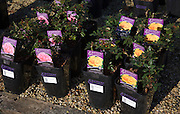 Mattocks potted roses on sale in a garden centre, UK