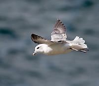 Fulmar - Fulmarus glacialis - soaring into a strong headwind at Farne Islands, Northumberland - August