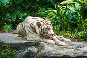 White tiger at the Singapore Zoo, Singapore, Republic of Singapore