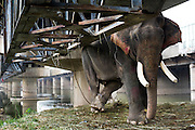 28th August 2014, Yamuna River, New Delhi, India. A male elephant tethered by a rope and a shackle with spikes inside under a bridge crossing the Yamuna River, New Delhi, India on the 28th August 2014<br /> <br /> Elephant handlers (Mahouts) eke out a living in makeshift camps on the banks of the Yamuna River in New Delhi. They survive on a small retainer paid by the elephant owners and by giving rides to passers by. The owners keep all the money from hiring the animals out for religious festivals, events and weddings, they also are involved in the illegal trade of captive elephants. The living conditions and treatment of elephants kept in cities in North India is extremely harsh, the handlers use the banned 'ankush' or bullhook to control the animals through daily beatings, the animals have no proper shelters are forced to walk on burning hot tarmac and stand for hours with their feet chained together. <br /> <br /> PHOTOGRAPH BY AND COPYRIGHT OF SIMON DE TREY-WHITE<br /> + 91 98103 99809<br /> email: simon@simondetreywhite.com photographer in delhi