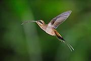 """""""Y el colibrí se perdió, y en su frágil aleteo hasta el arcoíris llegó.<br /> <br /> Descansando entre nubes de algodón, a sus alas el color magenta por siempre el Sol regaló"""".<br /> <br /> <br /> Un colibrí en el arcoíris / colibríes de Panamá.<br /> <br /> Ermitaño Piquilargo / Long-billed Hermit / Phaethornis longirostris.<br /> <br /> Edición de 25   Víctor Santamaría."""