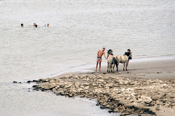Nederland, Nijmegen, 29-7-2018 Warme zomerse dag op het Waalstrand van Nijmegen in de Ooijpolder, makkelijk te bereiken via de voetgangersbrug Ooijblik die hier ligt. Het zwemmen in de rivier de waal, rijn, is gevaarlijk vanwege de veraderlijke stroming en de drukke scheepvaart. Wilde paarden, koniks, lopen langs het water . De paarden zijn nieuwsgierig naar her eten en voedsel wat de mensen bij zich hebben. Twee jonge mannen aaien de paarden .Foto: Flip Franssen