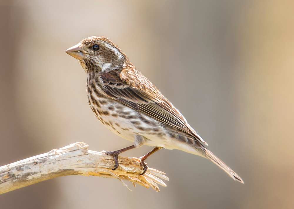 A song outside my window this morning from this chipper female purple finch