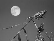 A stalk of decorative grass and daylight full moon, Southwestern Ohio, USA