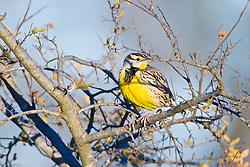 Eastern meadowlark, Trinity River Audubon Center, Dallas, Texas, USA.
