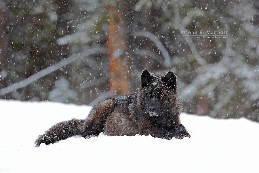 Wild black wolf in a winter blizzard