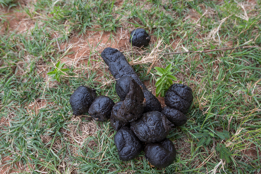 Lion (Panthera leo) faeces<br /> Marataba, a section of the Marakele National Park, Waterberg Biosphere Reserve<br /> Limpopo Province<br /> SOUTH AFRICA