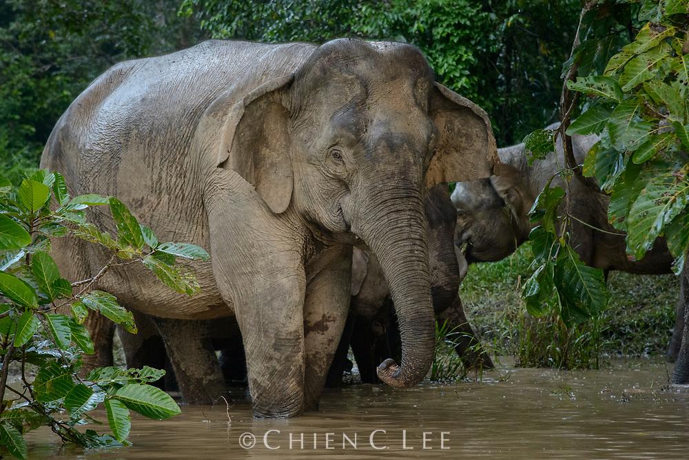 Borneo Pygmy Elephant (Elephas maximus borneensis). Kinabatangan Wildlife Sanctuary, Sabah, Malaysia (Borneo).