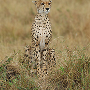 Female cheetah on a look out spotting the area for food.