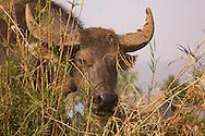 A water buffalo eating tall grass.