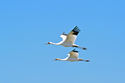 Whooping Cranes With Radio Transmitters Flying