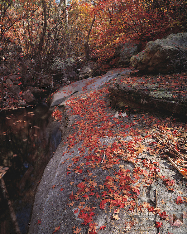 Bigtooth maple (Acer grandidentatum) leaves on rock, S. Fork Cave Creek, Arizona.©1992 Edward McCain/McCain Creative, Inc. All Rights Reserved 520-623-1998