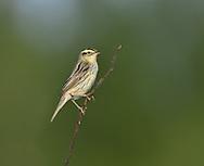 Aquatic Warbler - Acrocephalus paludicola