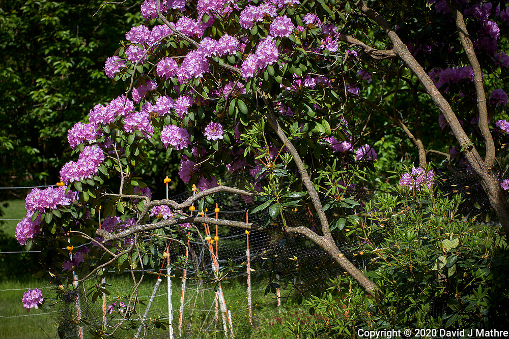 Rhododendron. Image taken with a Leica CL camera and 60 mm f/2.8 lens.