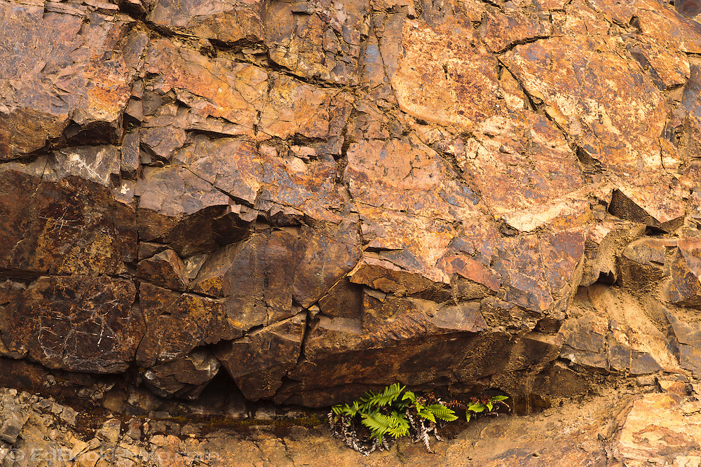 a licorice fern (Polypodium glycyrrhiza) is growing from a crack in the face of a rock face stained orange by oxidized iron and sulphur in the rock.