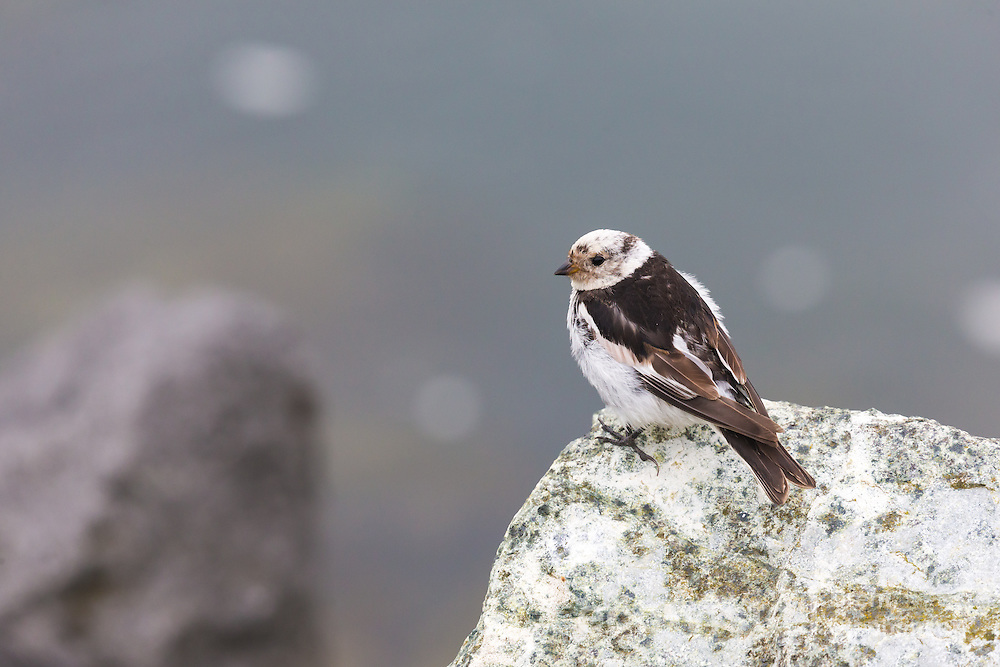 Adult male snow bunting (Plectrophenax nivalis) in worn breeding plumage, perched on a rock. Many Icelandic snow buntings migrate to the UK nd Europe during the winter, although some will overwinter. Jokulsarlon, edge of Vatnajokull National Park, Iceland. July.