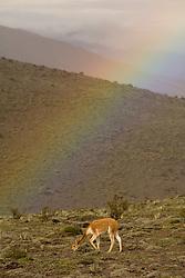 South America, Ecuador, wild vicuna (Vicugna vicugna) and rainbow on Mt. Chimborazo (the highest peak in Ecuador at 6310m)