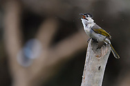 Styan's Bulbul, Pycnonotus taivanus, Endemic, Kenting National Park, Taiwan