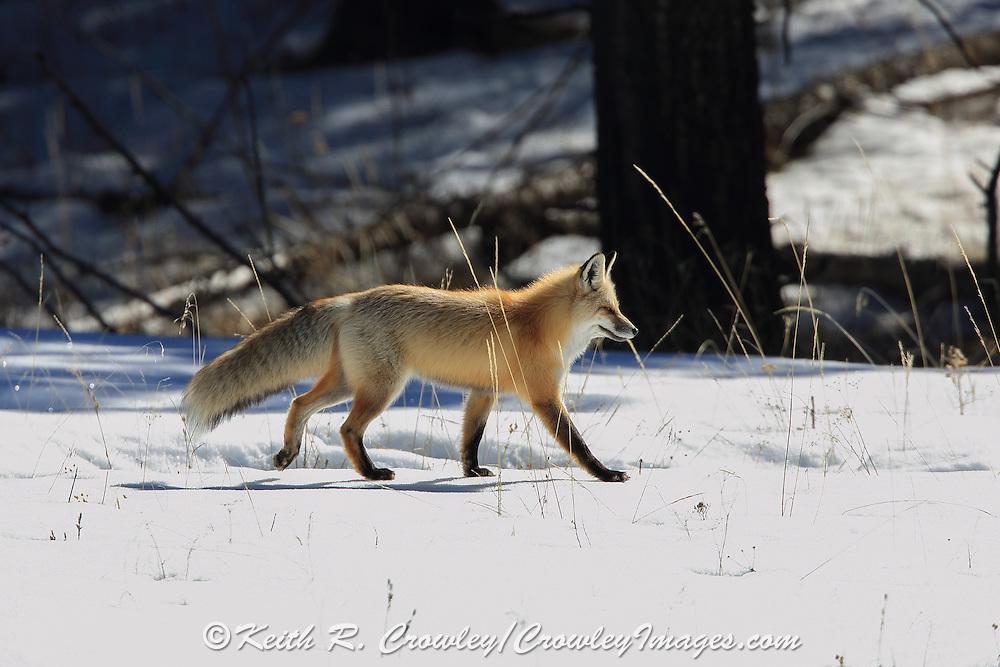 Red fox hunting in winter habitat.