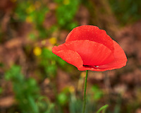 Red or Oriental Poppy after the rain. Image taken with a Nikon D850 camera and 60 mm f/2.8 macro lens.