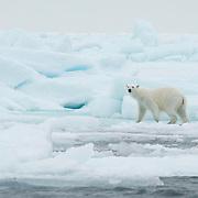 Polar bear out on the sea ice near Svalbard, Norway.