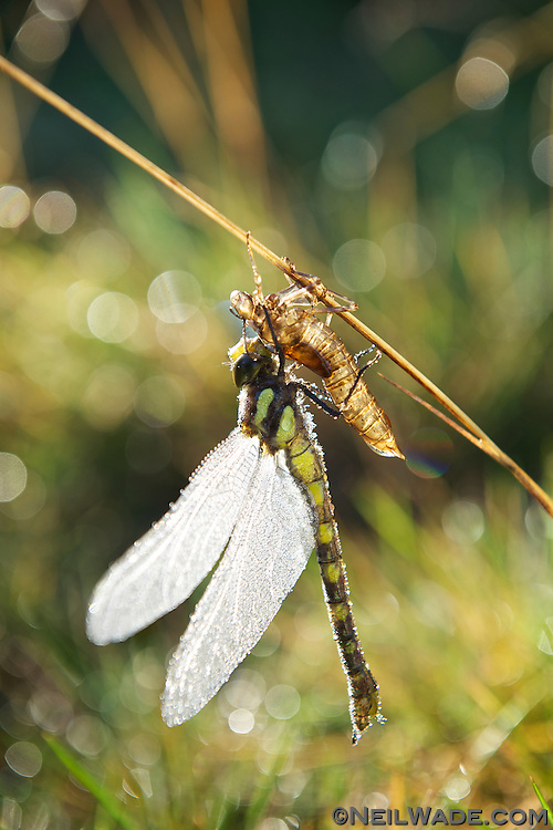 A dragon fly emerges from it larval state and spreads its wings.  It's waiting for the sun to dry it off for its first flight.
